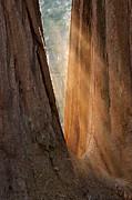 Sandra Bronstein - Golden Sequoia