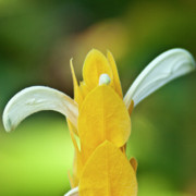 Golden Shrimp Plant Print by Heiko Koehrer-Wagner