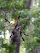 Polk County Florida Photos - Golden Silk Orb Weaver 1 on web by Christopher  Mercer
