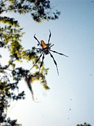Central Florida Framed Prints - Golden Silk Orb Weaver 7 Framed Print by Christopher  Mercer