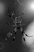 Orb Weaver Framed Prints - Golden Silk Orb-Weaver Framed Print by Melissa Wyatt