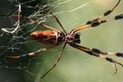 Creepy Digital Art Posters - Golden Silk Orb Weaver Poster by Sherry M Shipley