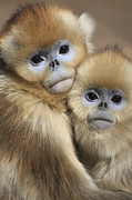 Emoting Framed Prints - Golden Snub-nosed Monkeys Framed Print by Cyril Ruoso