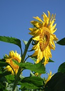 Linda Koester Art - Golden Sunflower by Linda Koester
