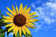 Green Clouds Prints - Golden Sunflower Print by Shane Bechler