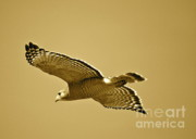 Flying Birds Prints - Golden Sunlight on Hawk Print by Carol Groenen