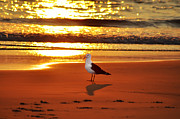 Beach Bird Posters - Golden Sunrise Seagull Poster by Bill Cannon