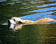 Brown Dogs Photos - Golden Swim by Ramona Johnston
