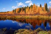 Prince Albert National Park Photos - Golden Tamaracks along the Spruce River by Larry Ricker