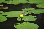 Lilly Pad Acrylic Prints - Golden Throne Acrylic Print by Luke Moore