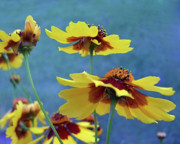 Matted Prints - Golden Tickseed In Bloom Print by Dianne Liukkonen