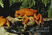 Anuran Art - Golden Toads Mating by Gregory G. Dimijian, M.D.