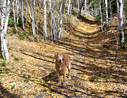 Golden Settings Pet Photography Photos - Golden Trail for Old Gold by Kara Kincade