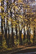 Autumn Art Digital Art Posters - Golden trees 1 Poster by Carol Lynch