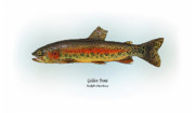Game Drawings Posters - Golden Trout Poster by Ralph Martens
