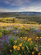 Wildflowers Photo Posters - Golden Valley Poster by Mike  Dawson