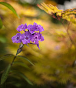 Flower Photos - Golden Violets by Mike Reid