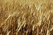 Paddocks Prints - Golden wheat grains Print by Sami Sarkis