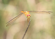 Yellow Dragonfly Posters - Golden-Winged Dragonfly Poster by Carol Groenen