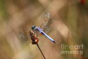 Dragonflies Metal Prints - Golden Wings Metal Print by Carol Groenen