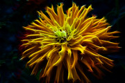Fractalius Framed Prints - Golden Zinnia Glow Framed Print by Darleen Stry