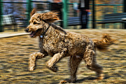 Quick Posters - GoldenDoodle On The Run Poster by Chris  Mautz