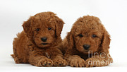 Cross Breed Posters - Goldendoodle Puppies Poster by Mark Taylor
