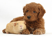 Goldendoodle Prints - Goldendoodle Puppy And Guinea Pig Print by Mark Taylor