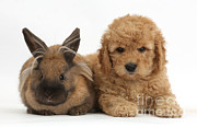 Goldendoodle Prints - Goldendoodle Puppy And Rabbit Print by Mark Taylor