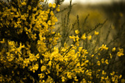 Goldenrod Flowers Prints - Goldenrod Print by Bonnie Bruno