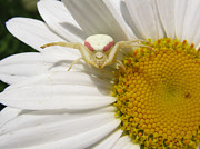 Stephanie Wenzl - Goldenrod Crab Spider on...