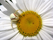 Stephanie Wenzl - Goldenrod Crab Spider...