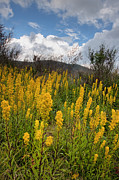 Yellow Photographs Prints - Goldenrod on the Parkway Print by Rob Travis