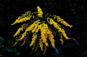 Valuable Prints - Goldenrod Print by Priscilla Richardson