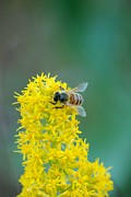 Goldenrod Wildflowers Prints - Goldenrod Visitor 3 Print by Michael Peychich