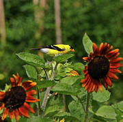 Byron Varvarigos - Goldfinch And Sunflowers
