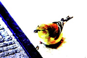Backyard Goldfinch Digital Art Posters - Goldfinch Poster by Charrie Shockey