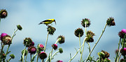 Canary Yellow Prints - Goldfinch eating flowerseeds Print by Emanuel Tanjala