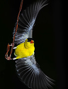 Canary Yellow Prints - Goldfinch high wire act Print by Randall Branham