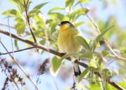 Goldfinch In Spring Tree Print by Carol Groenen