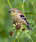 Juvenile Wall Decor Photo Metal Prints - Goldfinch Juvenile Metal Print by Dick Jones