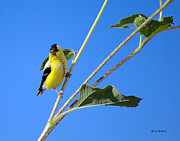 Stephen  Johnson - Goldfinch on Sunflowers