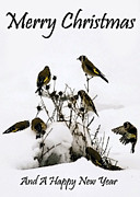 Animals At Christmas Posters - Goldfinches at Christmas  Poster by Cliff  Norton