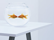 Fishbowl Framed Prints - Goldfish Kissing In Fishbowl Framed Print by Adam Gault