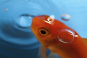 Fish Bowl Prints - Goldfish opening its mouth to catch its food Print by Sami Sarkis