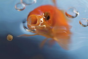 Sami Sarkis Framed Prints - Goldfish opening mouth to catch food Framed Print by Sami Sarkis