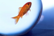 Fish Bowls Photos - Goldfish swimming in a small fishbowl by Sami Sarkis