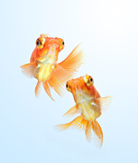 Fishbowl Framed Prints - Goldfish Framed Print by Visarute Angkatavanich