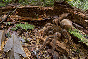 Tarantula Prints - Goliath Birdeating Spider Surinam Print by Piotr Naskrecki