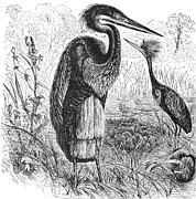 Goliath Heron Print by Granger
